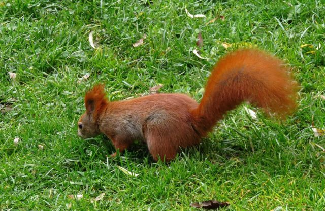 park veverička chvost